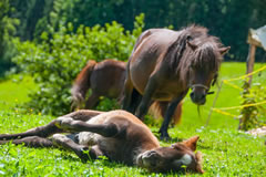 Our miniature pony family